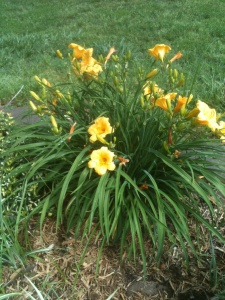 Daylily Becky S Flower Farm Nw Arkansas