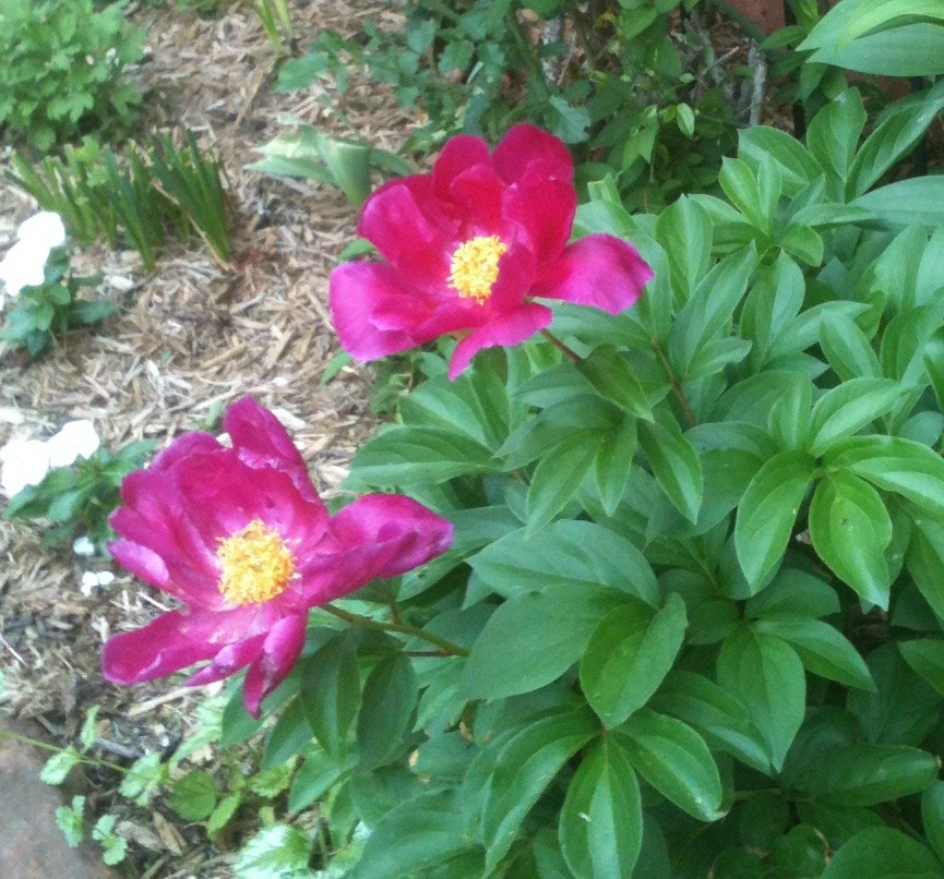 Single Peony Jpg Becky S Flower Farm Nw Arkansas