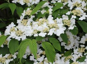 Viburnum Mariesii Becky S Flower Farm Nw Arkansas
