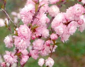Dwarf Flowering Almond Becky S Flower Farm Nw Arkansas